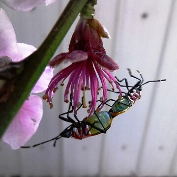 Harlequin Bugs on Nectarine Tree by EdsMum