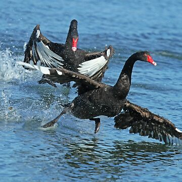 Black Swans by Hawker