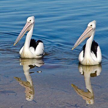 Australian Pelican by Hawker