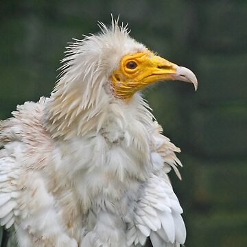 Egyptian Vulture by Hawker