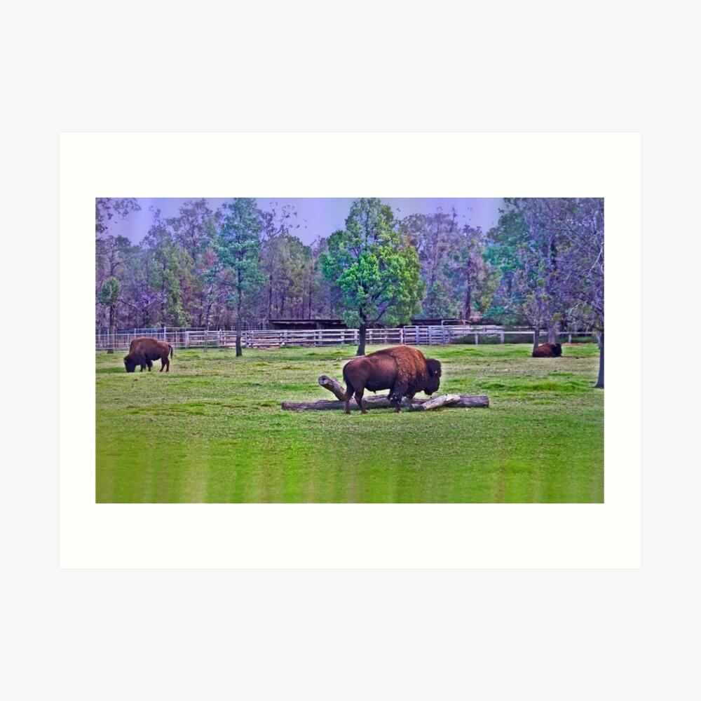 One Bison Family Lámina artística