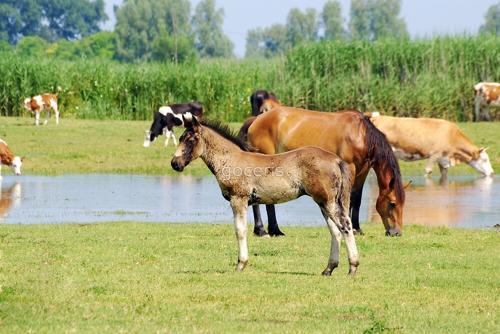 Foals horses and cows on pasture by goceris