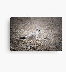 Gull on the rocks Metal Print