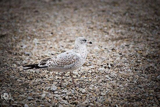 Gull on the rocks by LittleRedLens