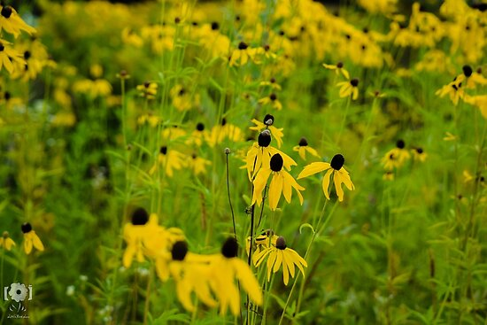 Susans in the Sunshine by LittleRedLens