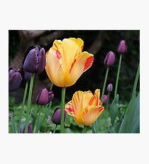 Beautiful Tulips Photographic Print