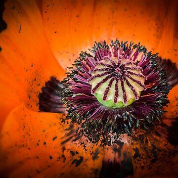 Orange Popps by LittleRedLens