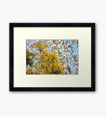 Golden Mop over Bradford Pear in Early Spring. Framed Print