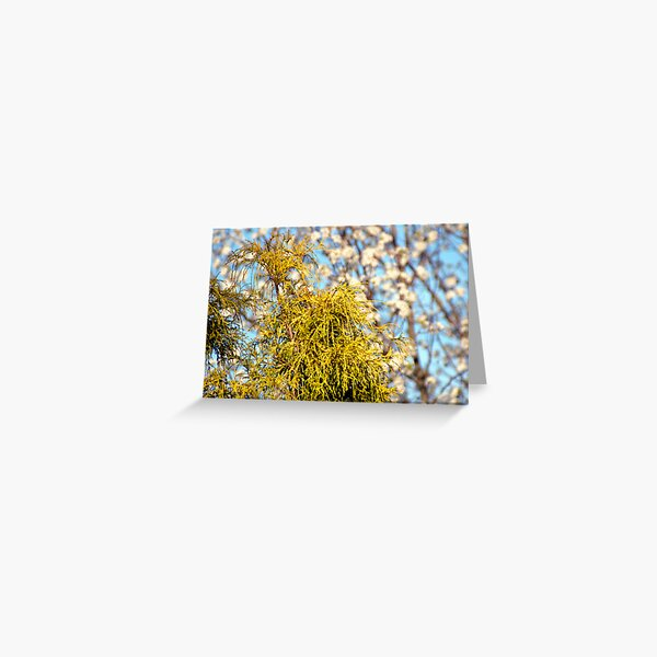 Golden Mop over Bradford Pear in Early Spring. Greeting Card
