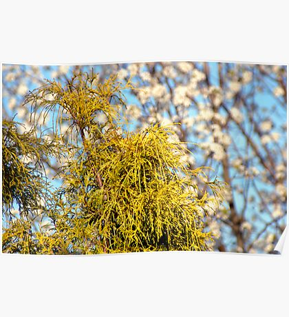 Golden Mop over Bradford Pear in Early Spring. Poster