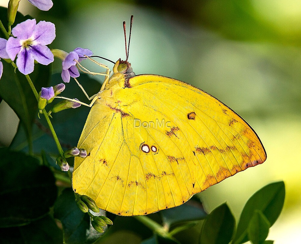 Clouded Yellow (Celias croceus) by DonMc