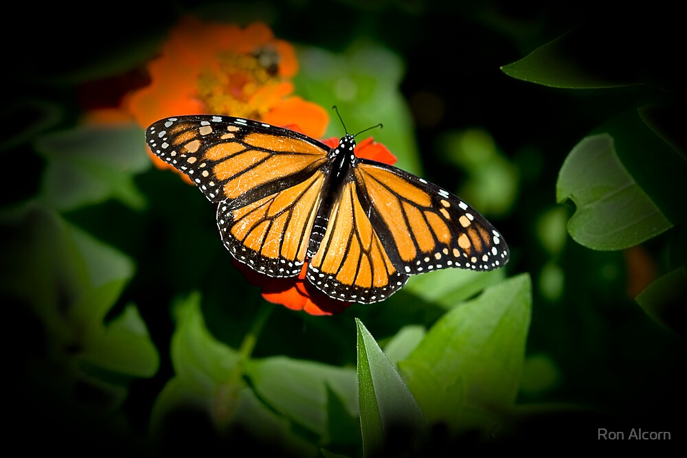 Monarch Butterfly by Ron Alcorn