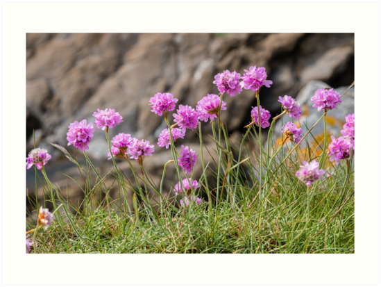 Purple sea thrift flowers on a cliff in Cornwall by Chris Warham