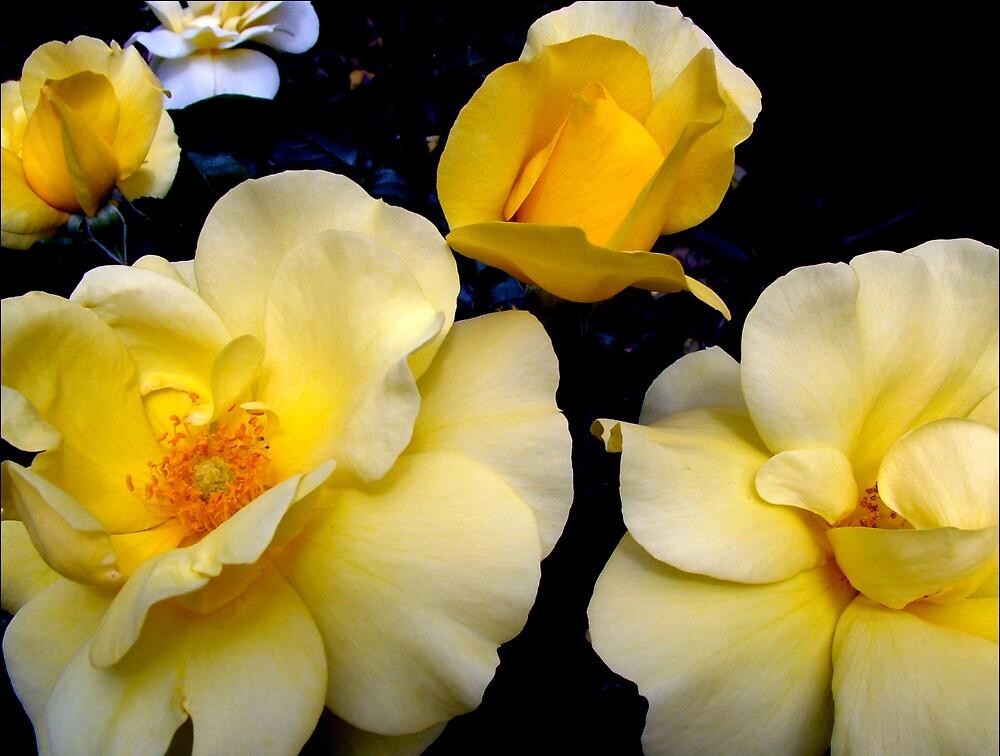 Yellow Roses by AlisonOneL