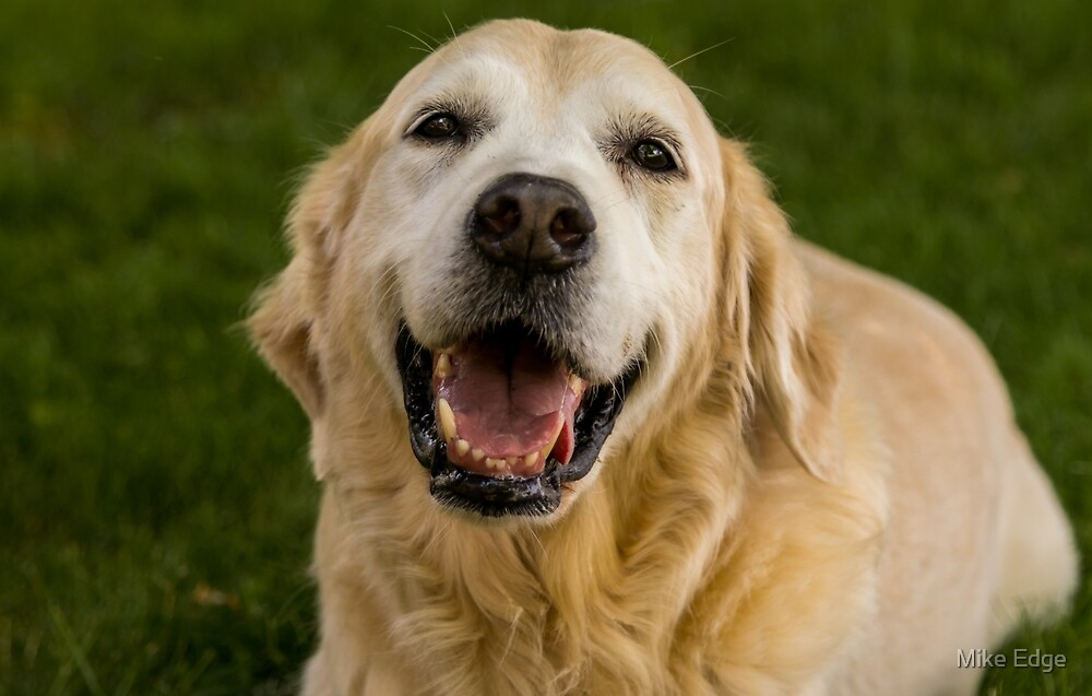 Happy Golden Retriever | Dog Photography by Mike Edge