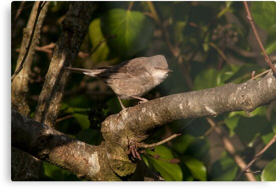 barred warbler (Sylvia nisoria) by Grandalf