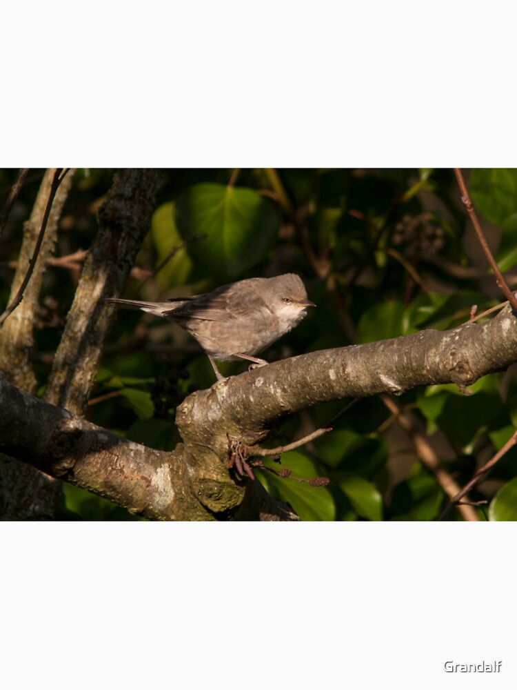 barred warbler (Sylvia nisoria) by Grandalf