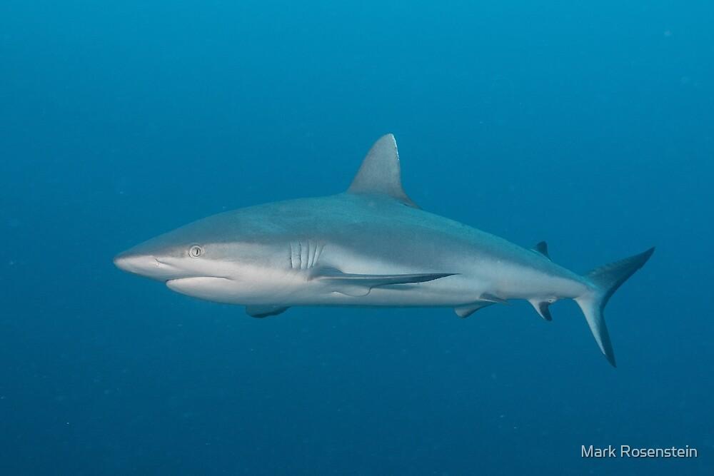 Gray Reef Shark by Mark Rosenstein