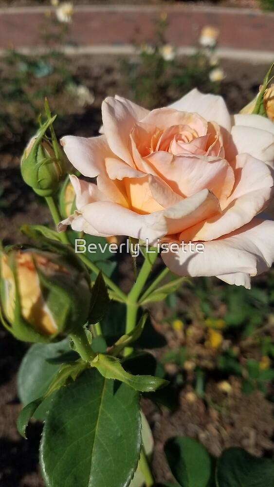 Rose by Beverly Ruiz