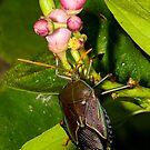 Shield Bug by Richard  Windeyer