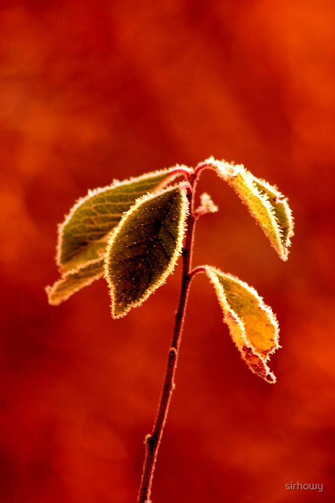 red frost by sirhowy