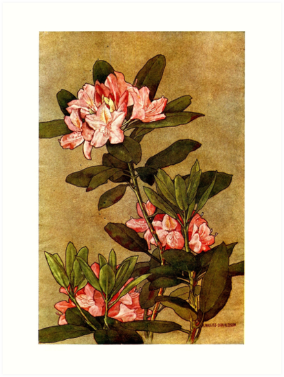 Rhododendron - Alice Willits Donaldson - 1911  by Michael Kessel