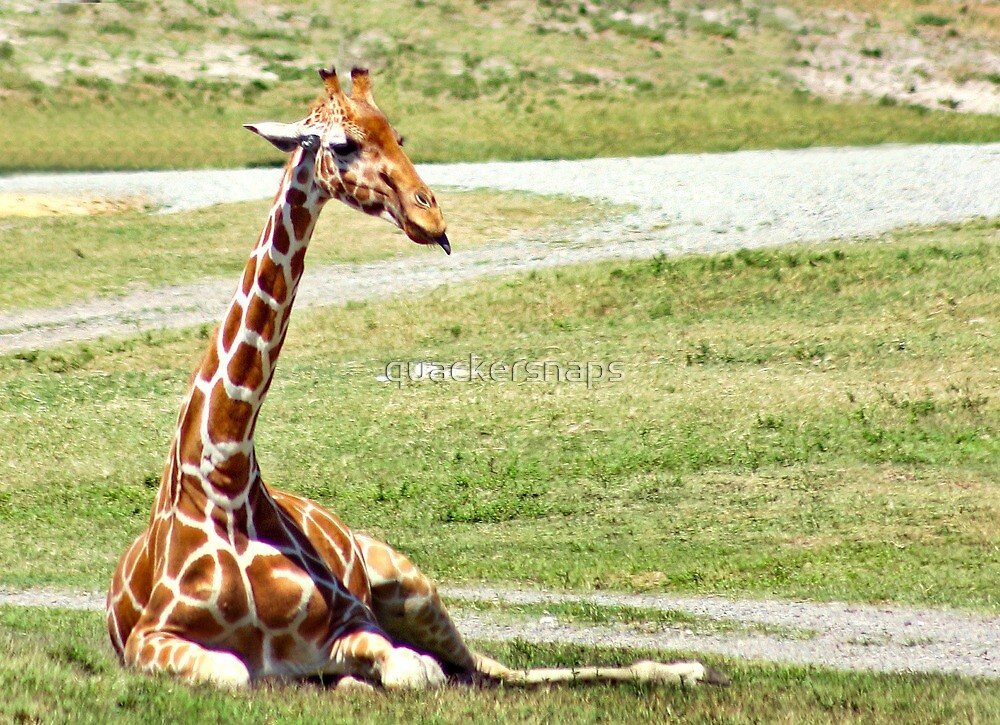 Giraffe with Tongue out by quackersnaps