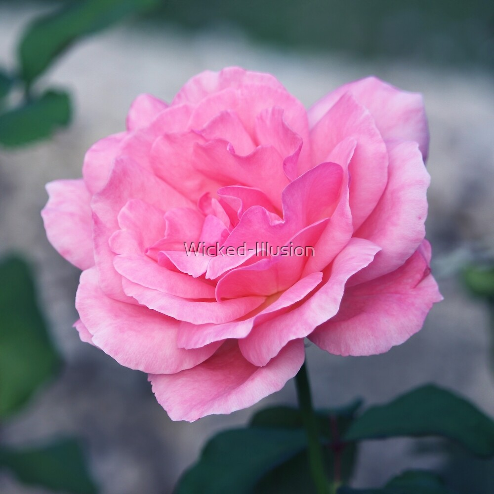 Gorgeous Pink Petals Rose by Wicked-Illusion
