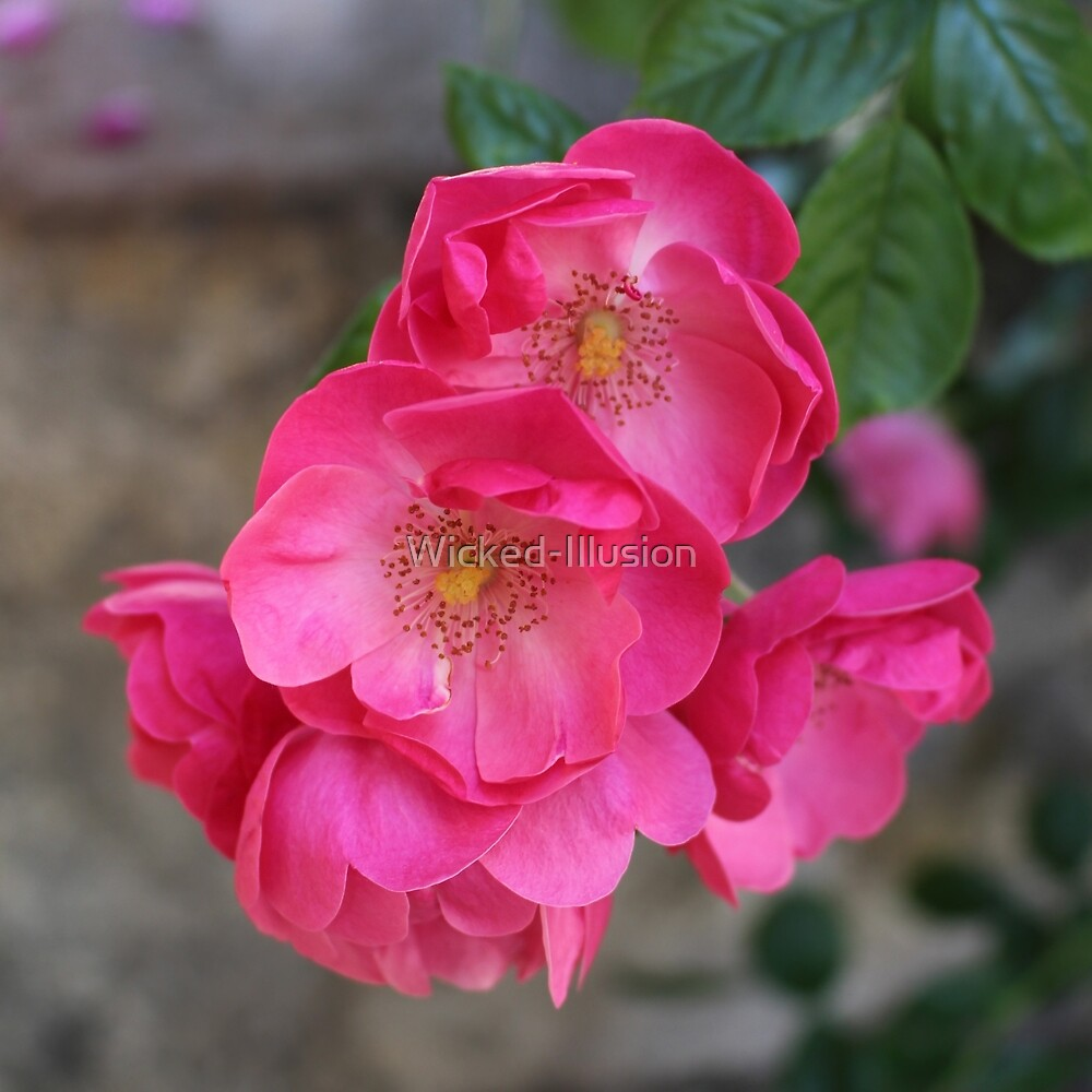 Deep Pink Roses by Wicked-Illusion