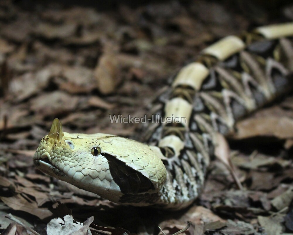 Gaboon Viper by Wicked-Illusion