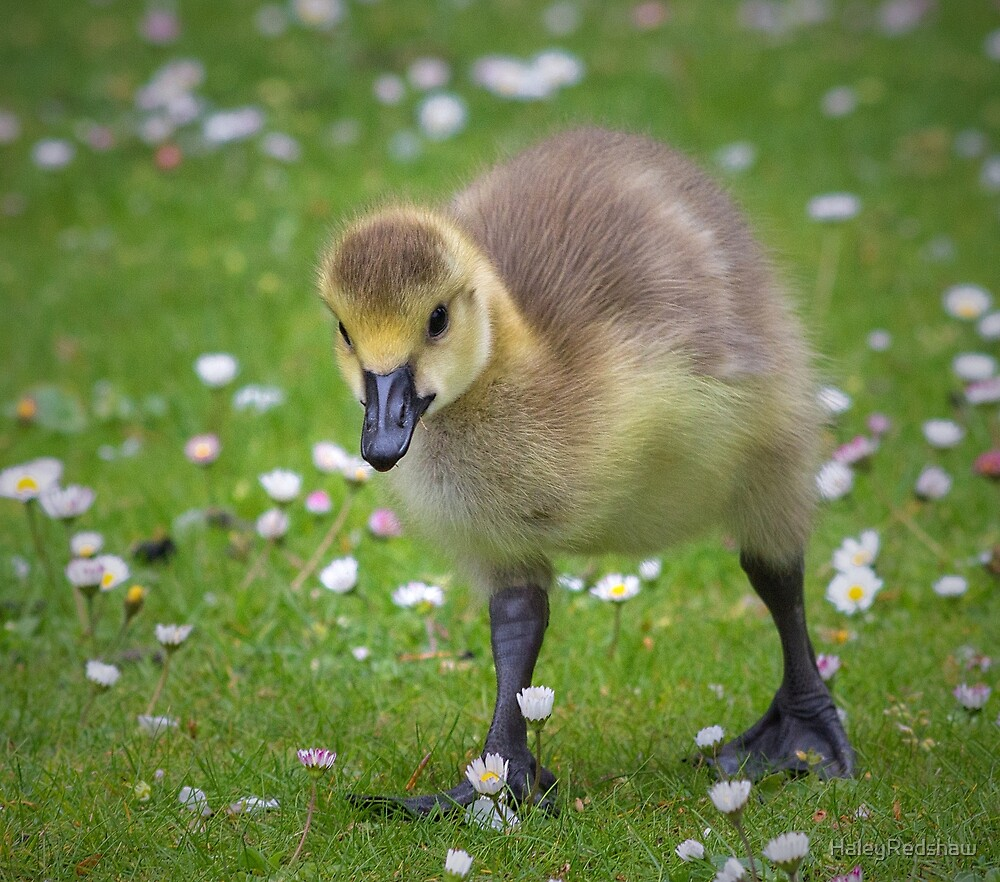 Baby Duckling by HaleyRedshaw