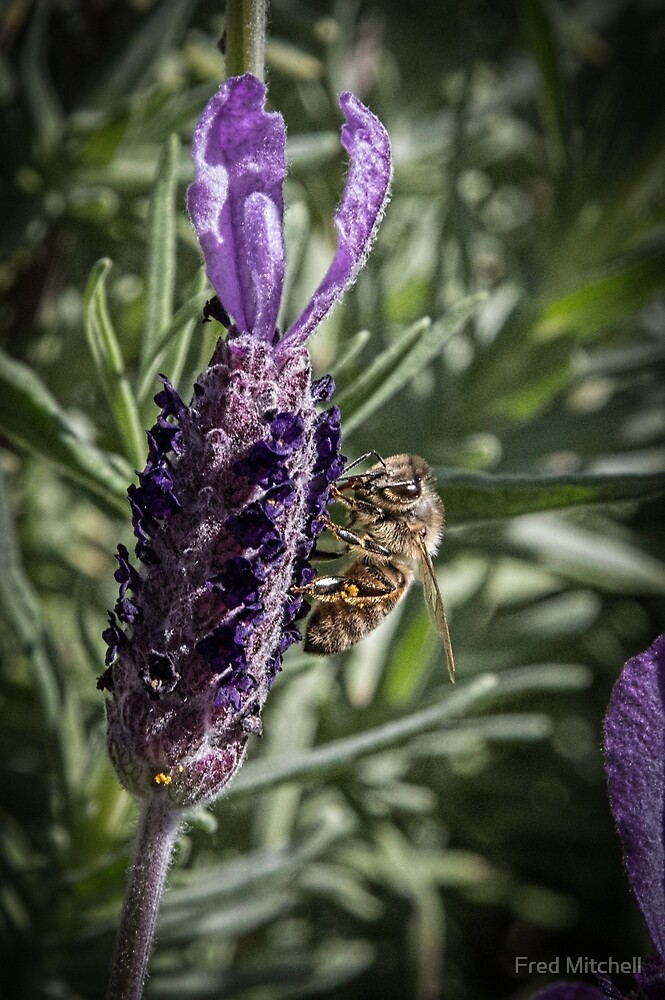 Bee and Lavender Leith Park Victoria 20171010 1472  by Fred Mitchell