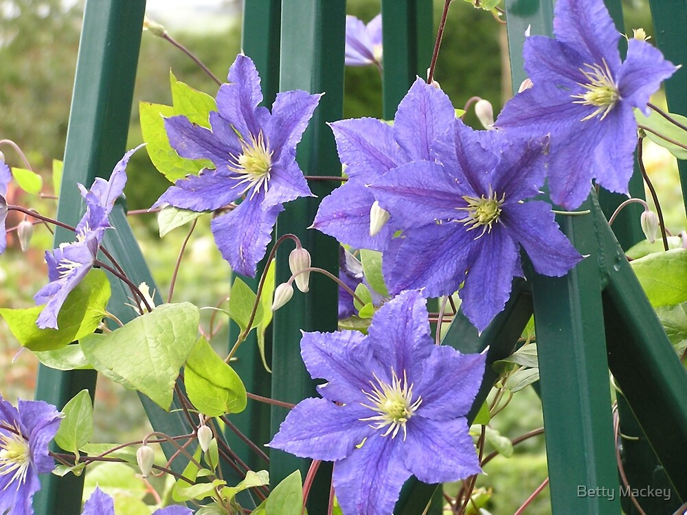 Blue Clematis by Betty Mackey