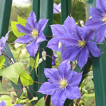 Blue Clematis by BettyMackey