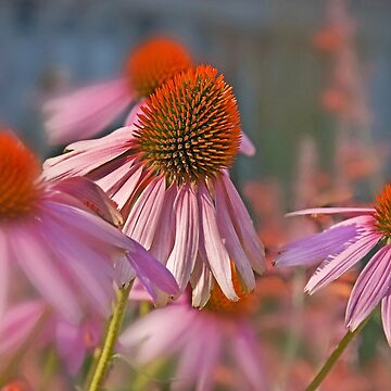 Echinacea Pallida Pink Coneflower by joyfuldesigns55