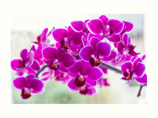 Bright Purple Orchids - flowers  by Chris Warham