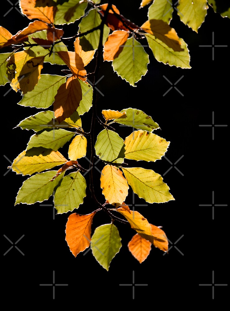Beech Leaves by JulieP