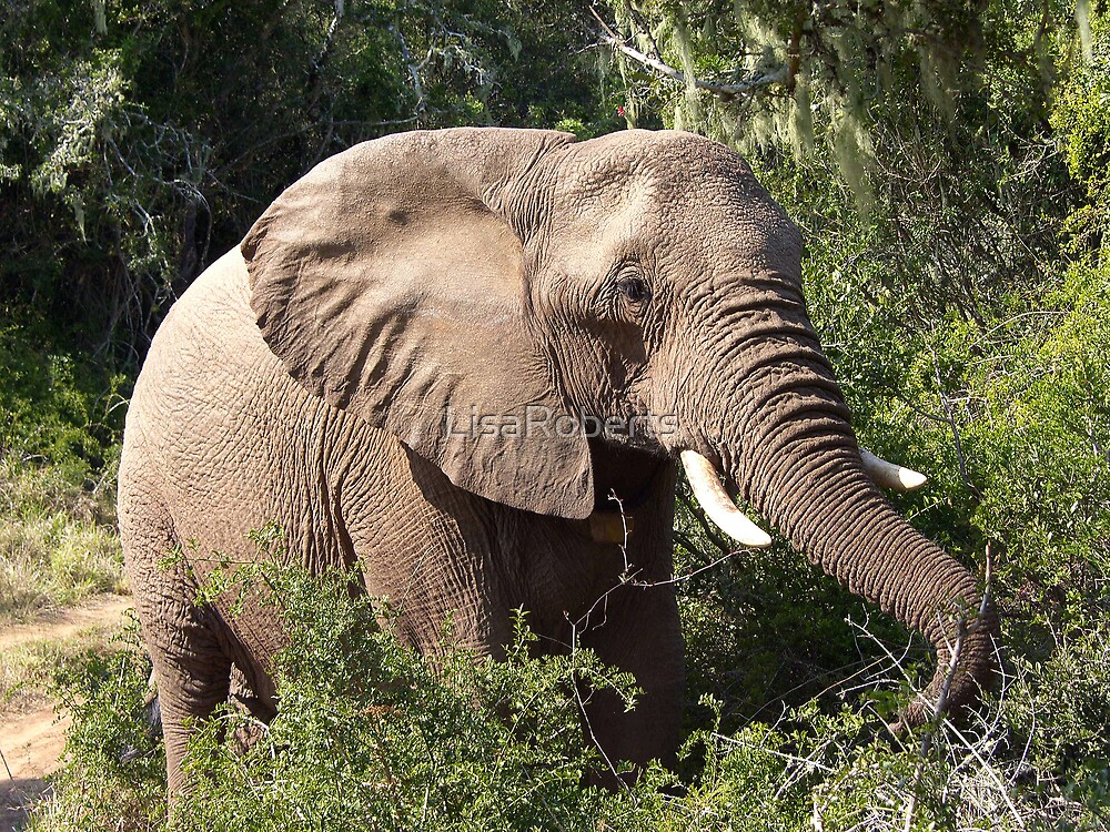 African elephant by LisaRoberts