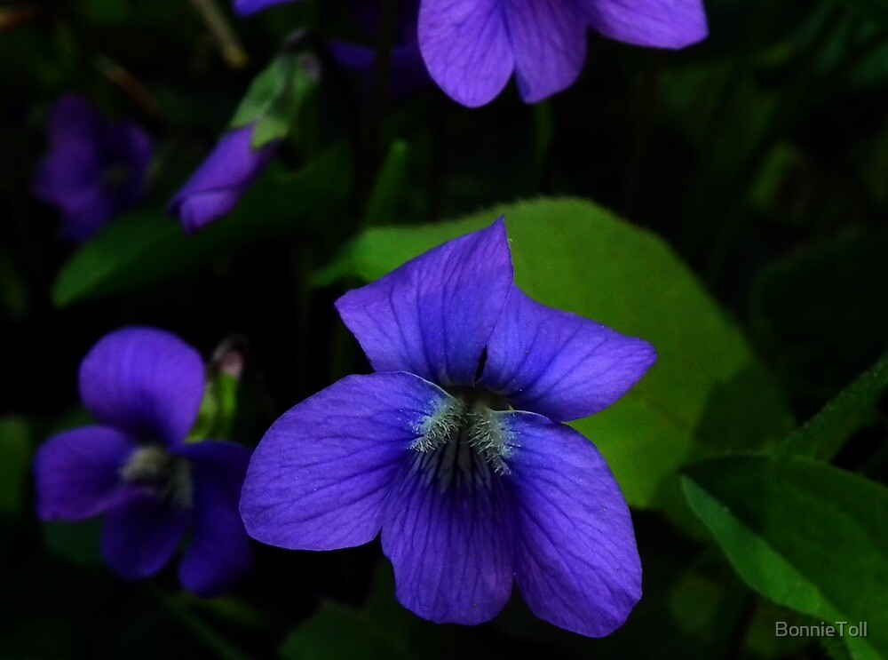 Arrow-leaved Violet (Viola sagittata) by BonnieToll