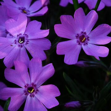 Creeping Phlox  by BonnieToll