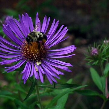 Purple Aster With Bee by BonnieToll