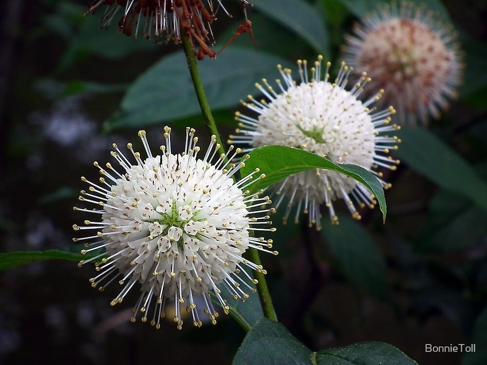 Buttonbush (Cephalanthus occidentalis) by BonnieToll