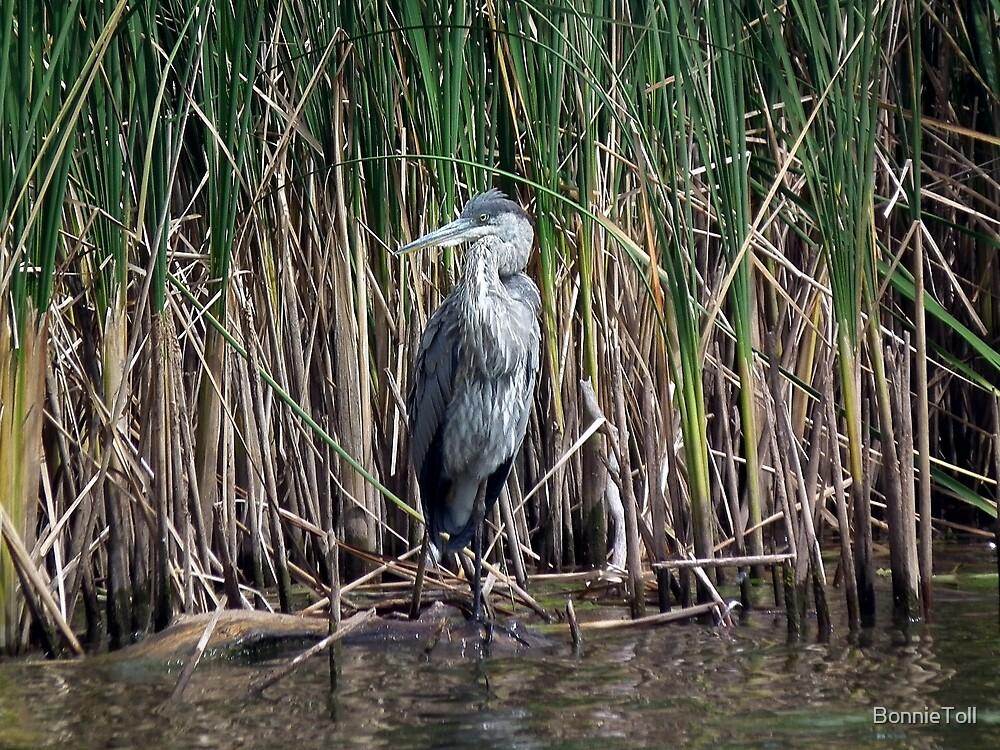 Grey Heron (Ardea cinerea) by BonnieToll