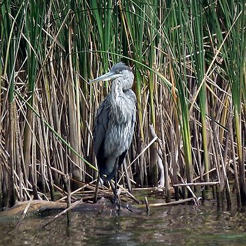 Grey Heron (Ardea cinerea) by BonnieToll