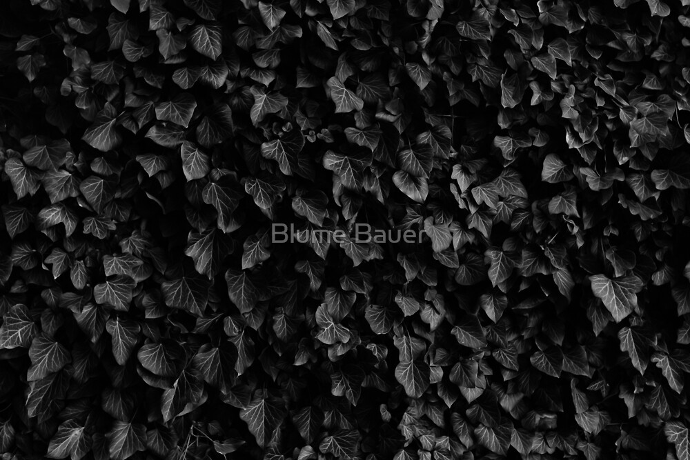 Black Ivy by Blume Bauer