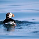 Atlantic Puffin Swimming by Gale Ulsamer