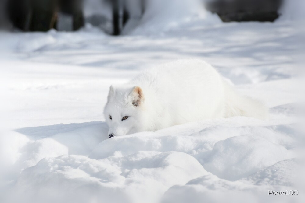 Precious Arctic Fox! by Poete100