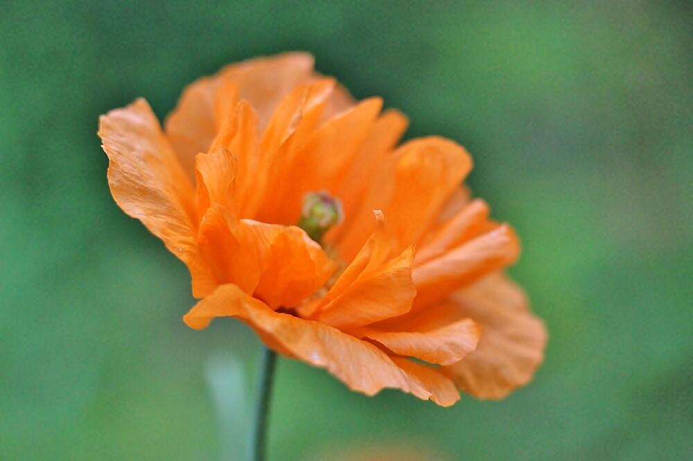 Orange Poppy by Linda Crockett