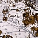 Burrs in the snow by Shulie1