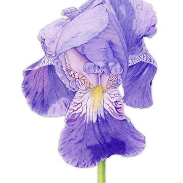 Purple Iris by mrana